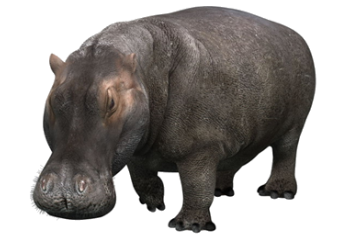 Sa Krugerrand Traders Natura Giants Of Africa Hippo